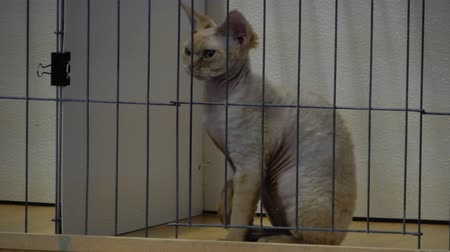 gaiola : Devon Rex Cat Breed In Cage Looking Around While Sitting Up Straight 4K Stock Footage