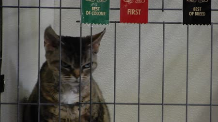 állatorvos : Devon Rex Cat Looking Around With Winning Ribbons On Cage 002 4K