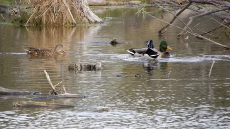 çiftleşme : 4K Ducks Mallards Are Swimming With Branches Stok Video