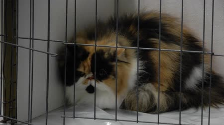 huiselijk : Fluffy Calico Cat In Cage At Judging Competition 4K Stockvideo