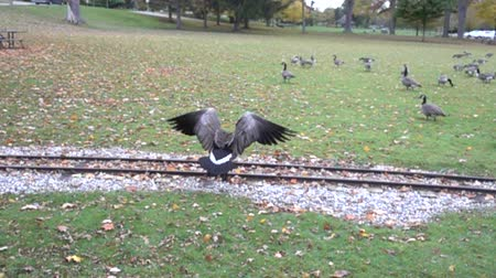 hladový : Slow Motion Goose Flying Over Railway Tracks Towards Flock In Park Super Slow Motion Dostupné videozáznamy