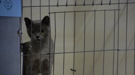 grzebień : Gray Grey Burmese Cat In Cage Looking Around 4K