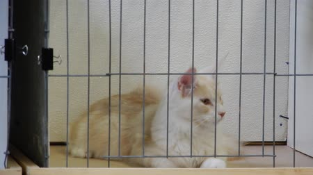weterynarz : Maine Coon Cat Sitting In Cage Looking Around 4K