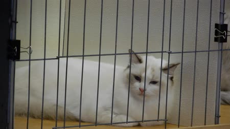 grzebień : White Ragdoll Cat In Cage Looking Around Then At Someones Arm 4K