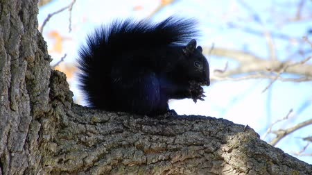 ghianda : 4K Black Squirrel Eating Nut In Tree On Windy Day 002