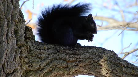tlapky : 4K Black Squirrel Eating Nut In Tree On Windy Day