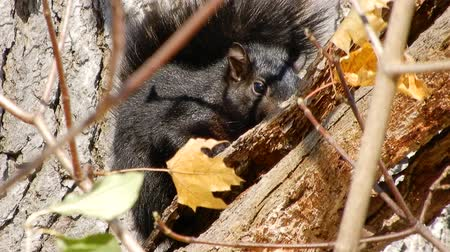 orzechy : 4K Black Squirrel Going To Sleep in Tree Wideo
