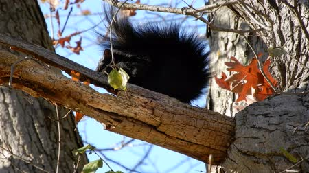 tlapky : 4K Black Squirrel Sitting On Branch On Windy Day Dostupné videozáznamy