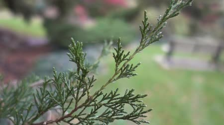 piknik : Evergreen Tree Close Up With Picnic Bench Stok Video