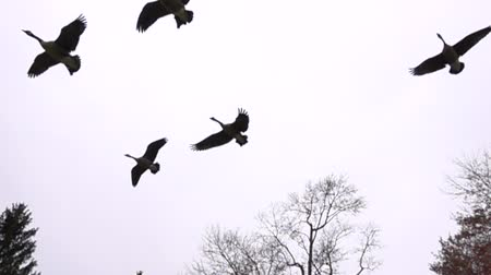 nyáj : Slow Motion Geese Flock Soaring In Air On Bright Overcast Day