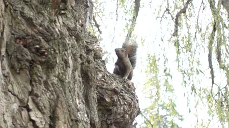 orzechy : Slow Motion Squirrel On Tree Looking Straight Ahead