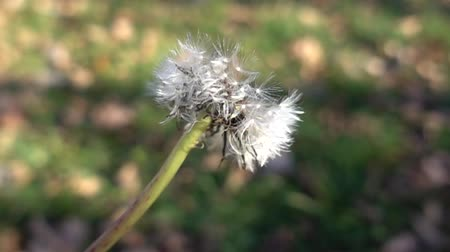 dmuchawiec : Slow Motion Dandelion Seeds Being Blown Off Into Wind