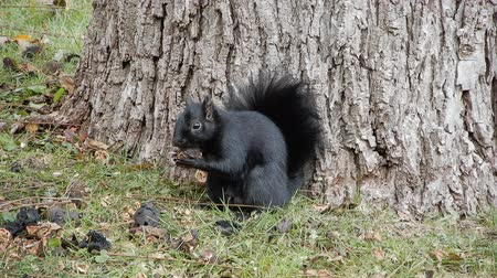 tlapky : 4K Black Squirrel Closeup At Tree Trunk Base Eating Nut
