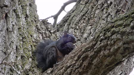 roedor : 4K Black Squirrel In Tree Eaeting Nut Close Up With Branches