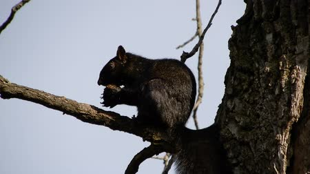 žalud : 4K Black Squirrel In Tree Eating Nut Closeup