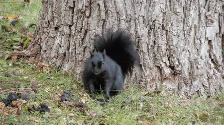 žalud : 4K Black Squirrel Looking Up Then Scratching Itself Dostupné videozáznamy
