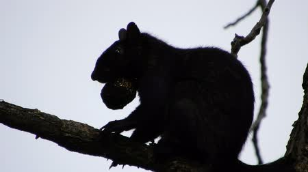 tlapky : 4K Black Squirrel Siloette Against Sky Eating Nut On Tree Branch Dostupné videozáznamy