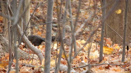 žalud : 4K Squirrel Behind Trees And Branches Foraging For Food Dostupné videozáznamy