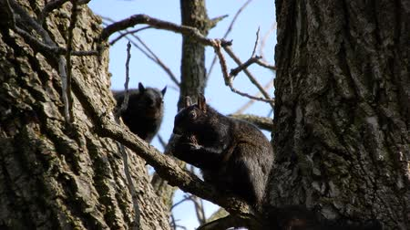 orzechy : 4K Squirrel In Tree Eating Nut With Second Squirrel Appearing Wideo