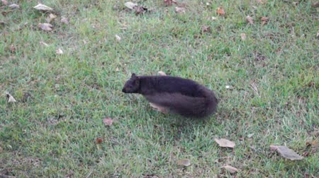 orzechy : Slow Motion Black Squirrel Turning Around Then Jumping Leaping