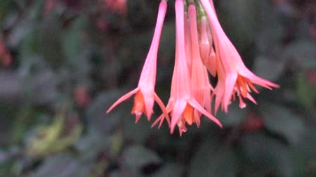 estame : Slow Motion Pink Bell Shaped Flowers