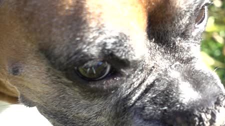 respirar : Súper Slow Motion Boxer Dog Close Up Girando la cabeza