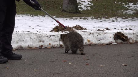 rodent control : 4K Animal Control Putting Noose Carefully Around Sick Raccoon