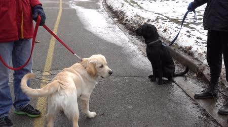 at kuyruğu : 4K Golden Retriever And Black Labrador Dogs Greeting Each Other Stok Video