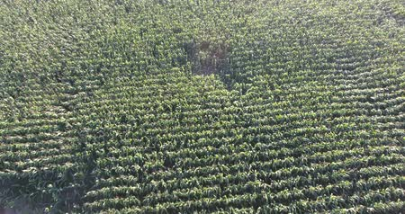 milharal : Flying Low Over Green Corn Field In Summer Time Drone Aerial View Stock Footage