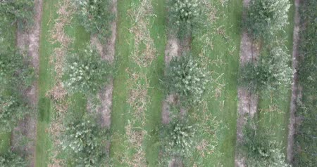 sera : Vertical Rows Of Apple Trees In Apple Orchard In Summertime Aerial Stok Video