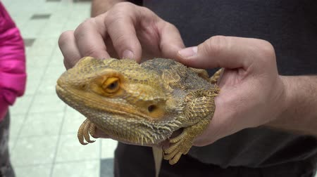 pogona : Bearded Dragon Lizard Closeup Being Petted Stock Footage