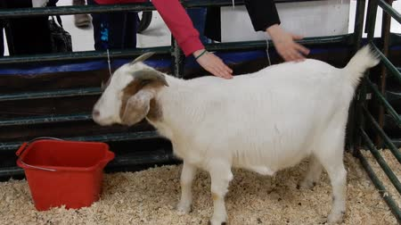 goatling : Children Petting Billy Goat At Petting Zoo