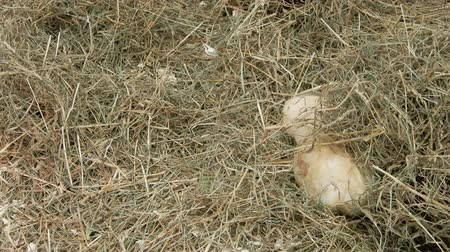 állatorvos : Guinea Pigs Hiding In Hay 002 Stock mozgókép