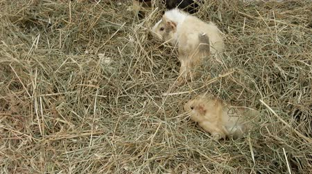 świnka morska : Guinea Pigs In Hay Moving Around