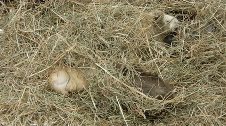 świnka morska : Several Guinea Pigs Moving Around In Hay