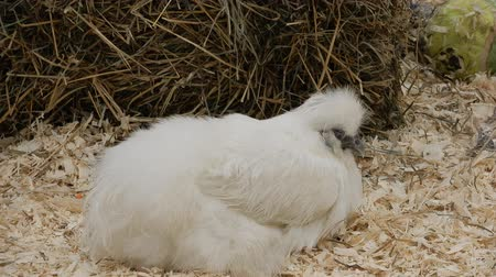 contact opnemen : White Silky Chicken Sitting Down