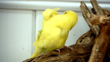 papuga : Yellow Budgie Preening And Pruning Itself On Branch Wideo