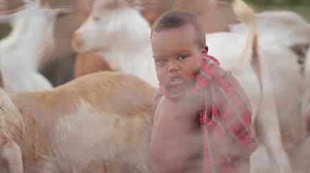 zambia : Maasai child amoung animals covered in flies