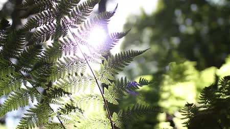 kapradina : Low shot of sun shining  flaring through a Fern plant