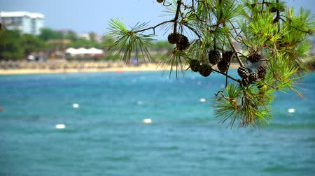 vacations cones : Pine branch with cones on a background of blue sea. Stock Footage