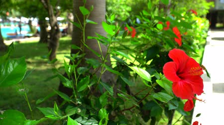 rosa sinensis : Chinese rose on a background of green grass and pool. The red hibiscus.