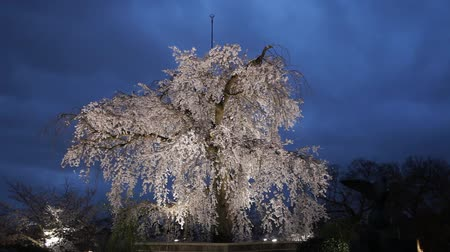 цветение : Beautiful pink cherry blossom tree with decorates lighting at the Maruyama park, Kyoto Japan