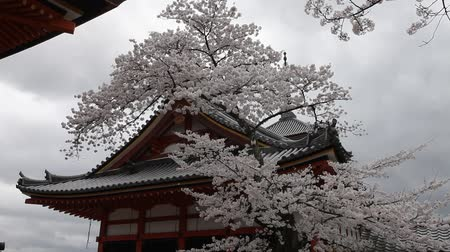 цветение : Scenery of cherry blossom tress and the Japanese temple style in spring season, Japan