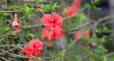 jamaica : hibiscus flower in the wind