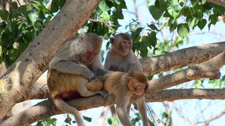 small group of animals : Rhesus macaque monkey on tree Stock Footage