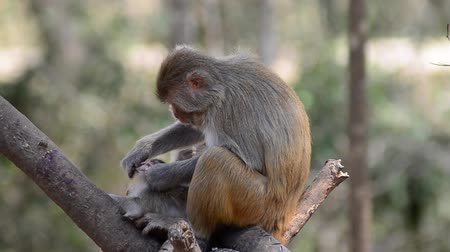 majom : Rhesus macaque monkey on tree Stock mozgókép