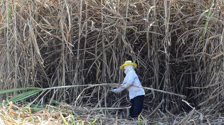 plantio : Worker cutting sugar cane, Thailand  Stock Footage