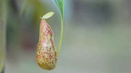 piante carnivore : Nepenthes