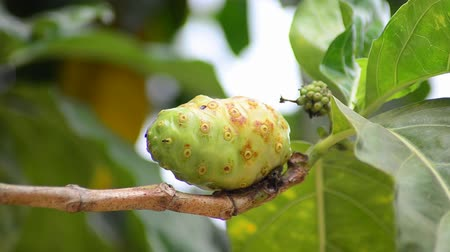 morinda : Noni fruit on tree