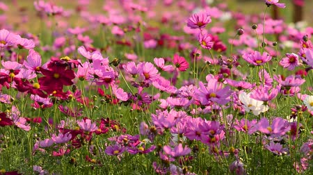 compositae : Beautiful cosmos flowers swaying in the breeze  Stock Footage
